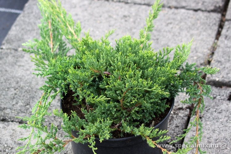 Juniperus horizontalis PRINCE OF WALES