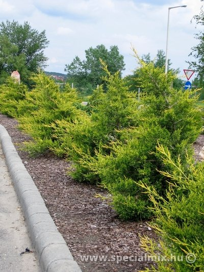 Juniperus chinensis KURIWAO GOLD