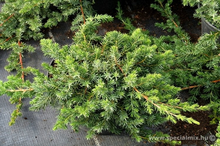 Juniperus conferta BLUE PACIFIC