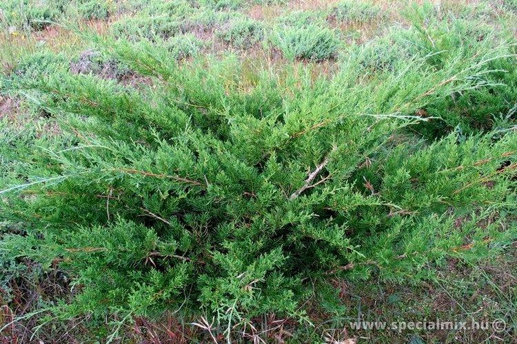 Boróka, Juniperus chinensis BOKOR