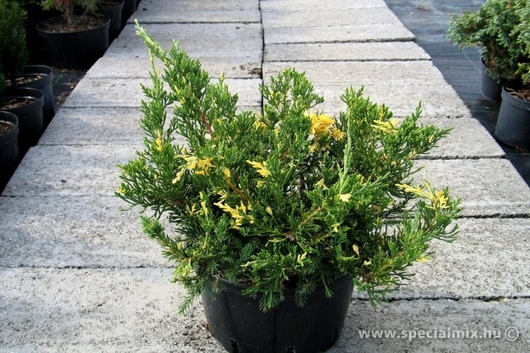 Juniperus chinensis EXPANSA VARIEGATA