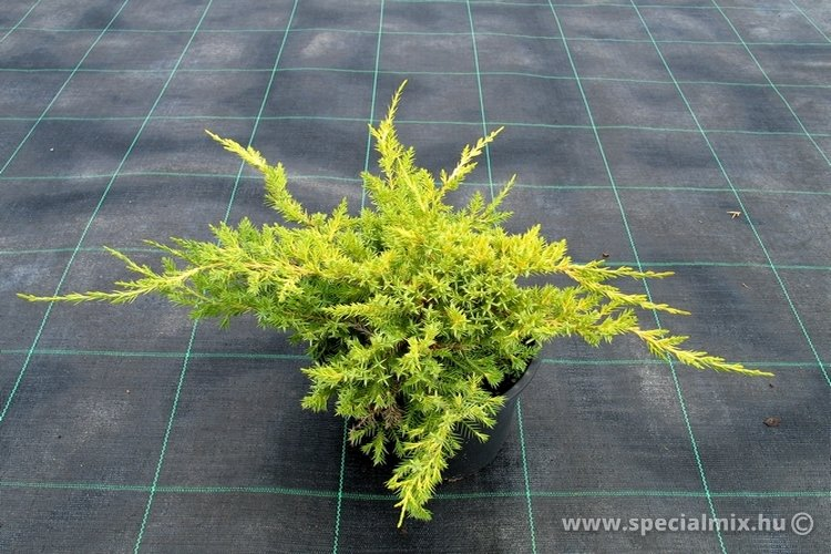 Juniperus chinensis FAVORIT