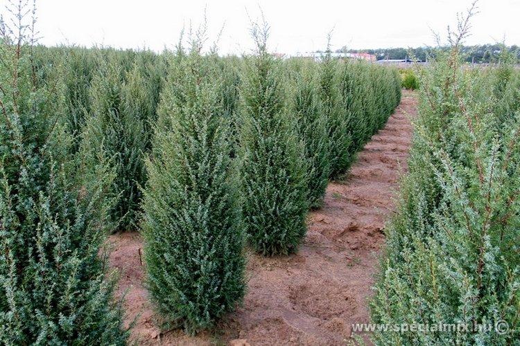 Juniperus communis HIBERNICA