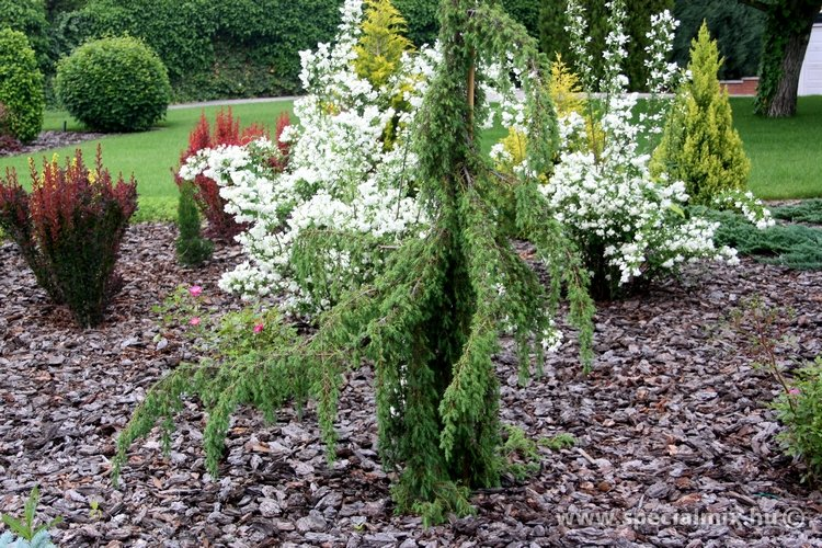 Juniperus communis HORSTMANN