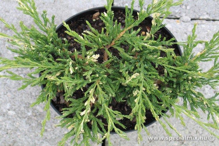 Juniperus horizontalis ANDORRA COMPACTA VARIEGATA