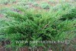 Juniperus chinensis BOKOR
