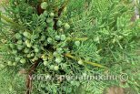 Juniperus chinensis KÉK
