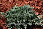 Juniperus horizontalis ICEE BLUE ®