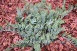 Juniperus horizontalis PROSTRATA