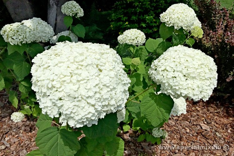 Cserjés hortenzia INCREDIBALL - Hydrangea arborescens INCREDIBALL'®
