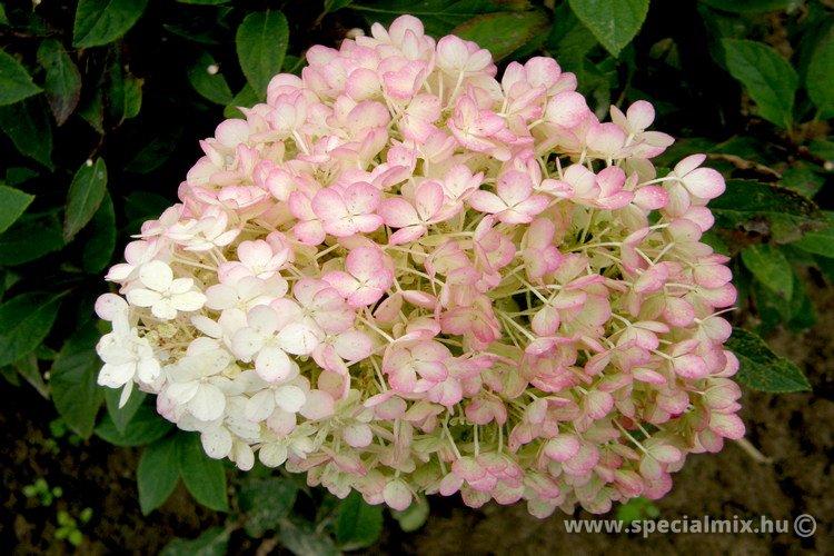 Bugás hortenzia BOBO - Hydrangea paniculata BOBO