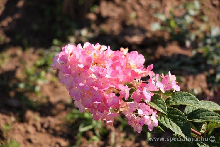 Bugás hortenzia SUNDAE FRAISE - Hydrangea paniculata SUNDAE FRAISE ®