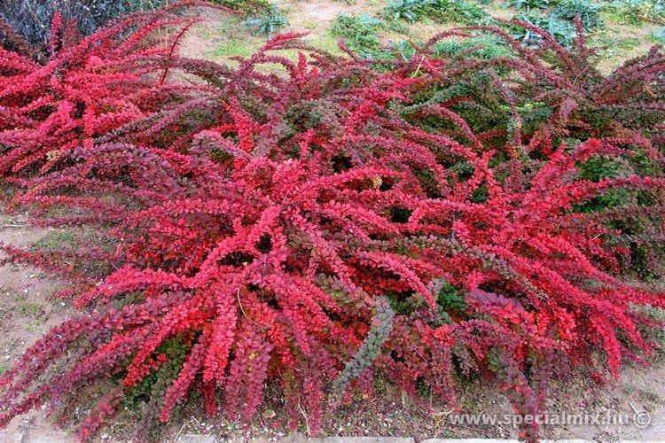 Berberis thunbergii GREEN CARPET - őszi lombszín