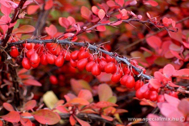 Berberis thunbergii GREEN CARPET - őszi lombszín terméssel