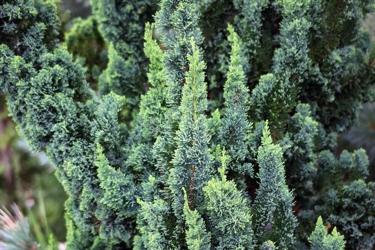 Japán stílusú örökzöld, Chamaecyparis lawsoniana WISSEL'S SAGUARO