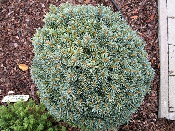 Törpefenyő, Picea pungens PALI