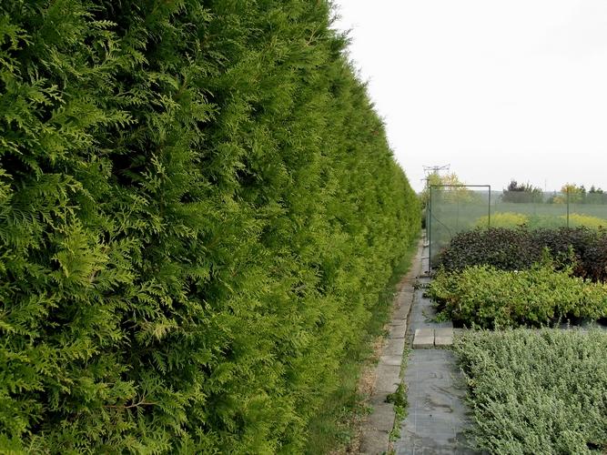 magas, nyírt sövény,  Thuja occidentalis Brabant