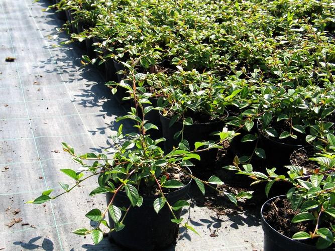 Talajtakaró örökzöld cserje - Madárbirs (Cotoneaster BELLA)