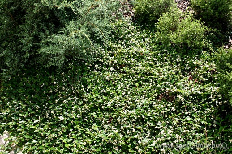 Talajtakaró cserje - Kúszó madárbirs (Cotoneaster BELLA)