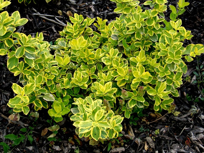 Talajtakaró cserje - Kúszó kecskerágó (Euonymus fortunei CANADALE GOLD)
