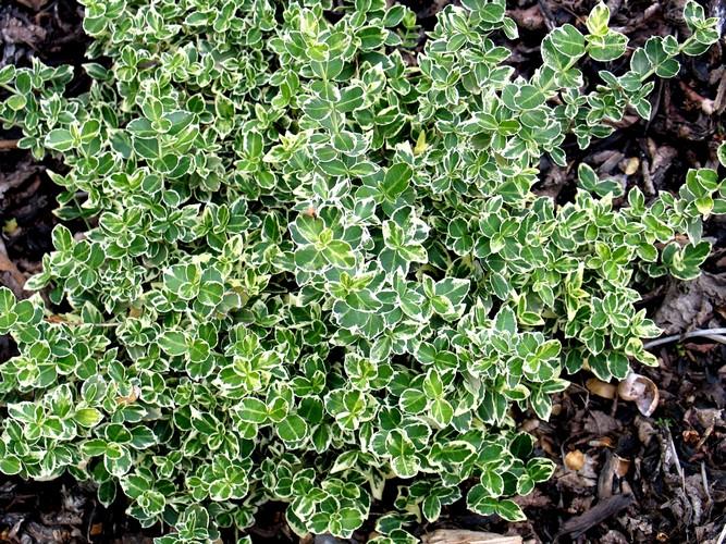 Talajtakaró cserje - Kúszó kecskerágó (Euonymus fortunei GAIETY)