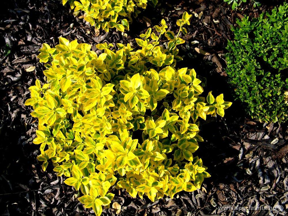 Talajtakaró cserje - Aranytarka kúszó kecskerágó (Euonymus fortunei EMERALDN GOLD)