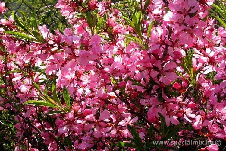 Talajmegkötő cserje, terjedő tövű - Törpe mandula (Prunus tenella)